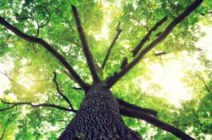 aoak_trees